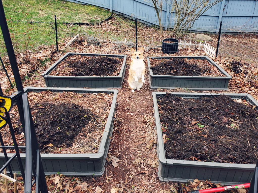 Four raised garden beds with a corgi posing between them