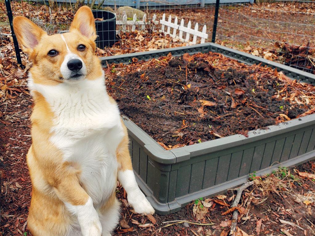 cute corgi dog posing in front of a garden bed