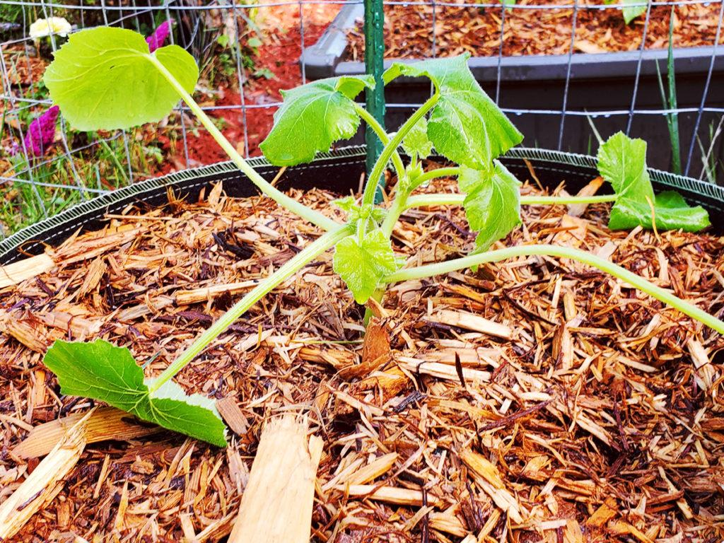 Zucchini starter plant