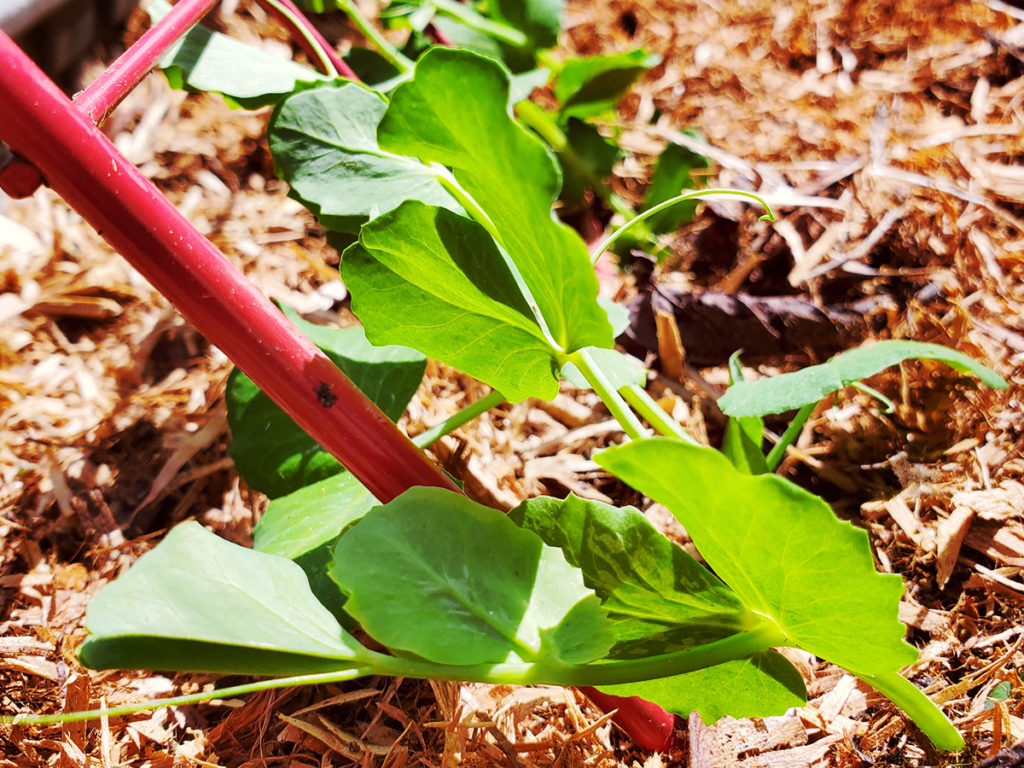 Pea plant starters in a raised garden bed