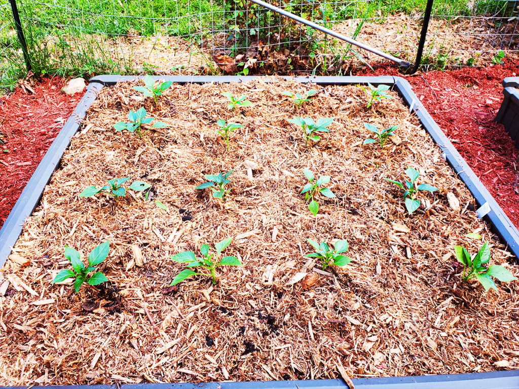 Pepper plants growing in a raised bed