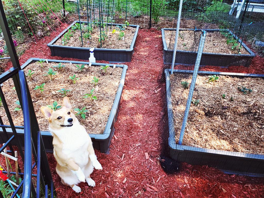 Corgi dog sitting in front of 4 raised garden beds